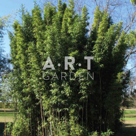 Bambou Traçant Semiarundinaria fastuosa