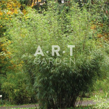 Bambou non traçant Fargesia robusta Pingwhu