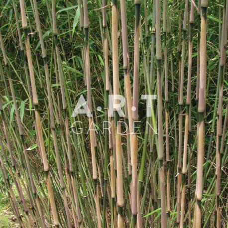 Bambou non traçant Fargesia rufa
