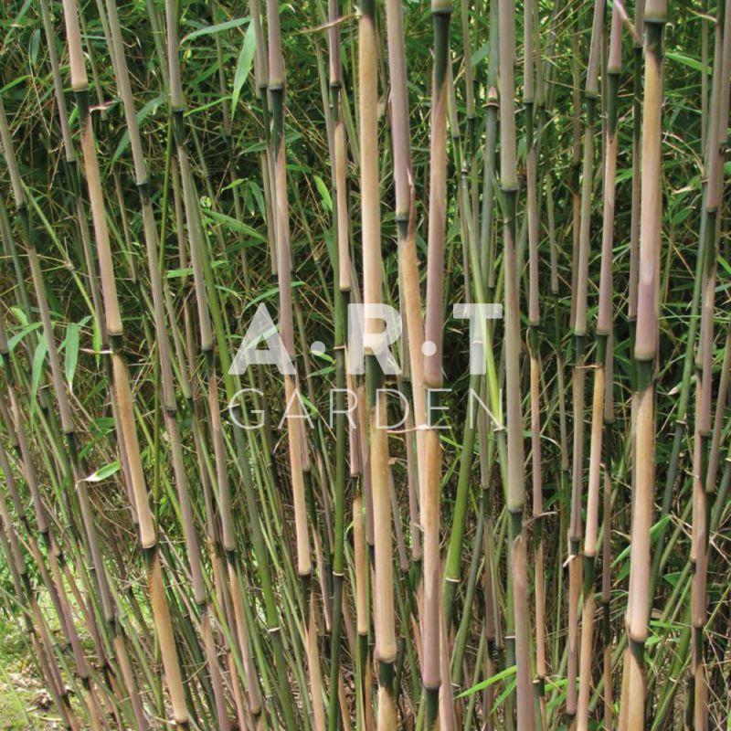 plantez un jardin de bambou au feuillage persistant fargesia rufa. Black Bedroom Furniture Sets. Home Design Ideas