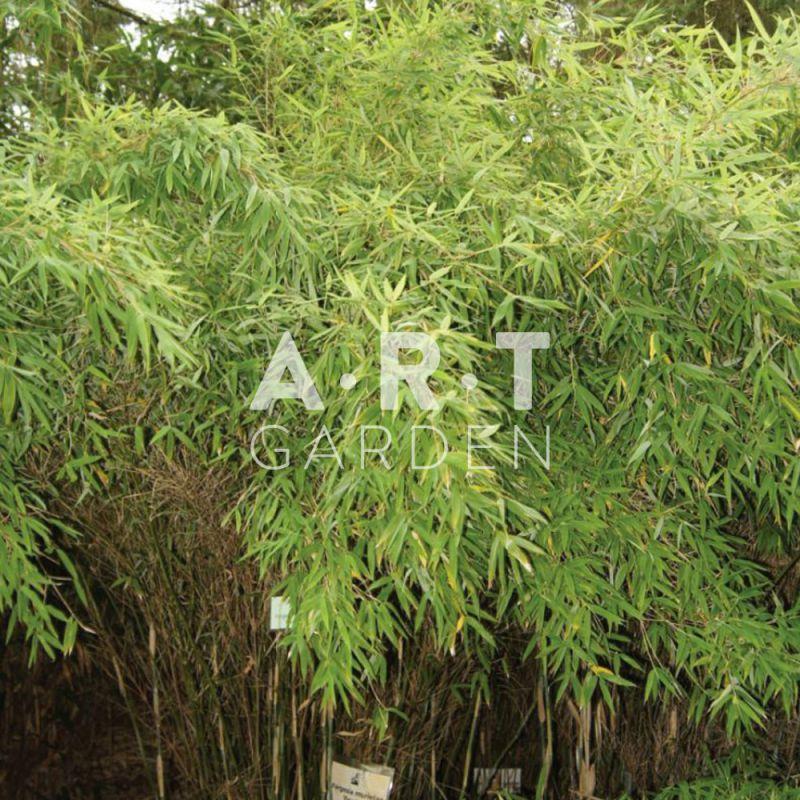 jardin de bambous feuillage dense fargesia scabrida asian wonder. Black Bedroom Furniture Sets. Home Design Ideas