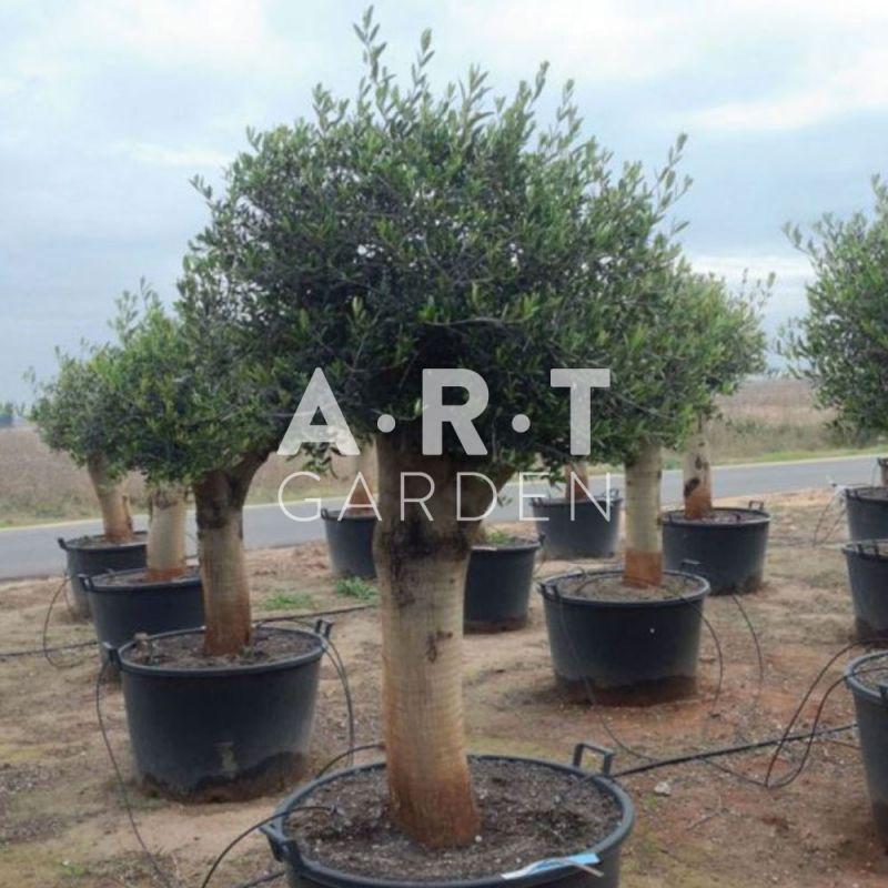 olea europaea olivier arbre pour terrasse et jardin. Black Bedroom Furniture Sets. Home Design Ideas
