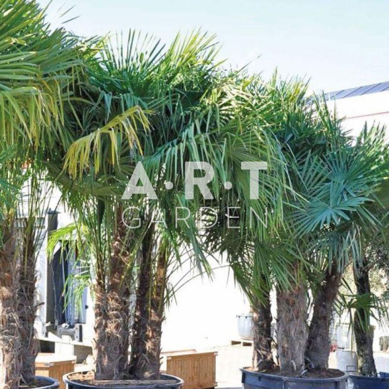 palmier chamaerops arbre feuillage persistant pour jardin. Black Bedroom Furniture Sets. Home Design Ideas