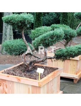 Juniperus media Hetzii  taille 80/100 Caisse bois 70x70