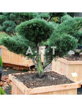 Juniperus media Hetzii taille 100/125cm