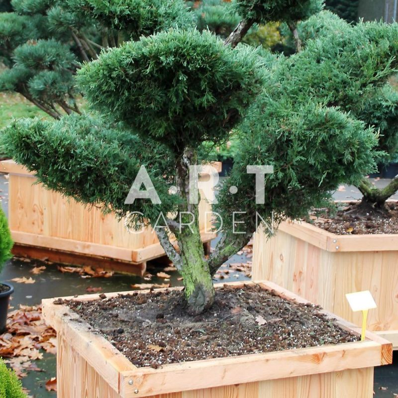 arbre nuage juniperus media hetzii taille 100 125. Black Bedroom Furniture Sets. Home Design Ideas