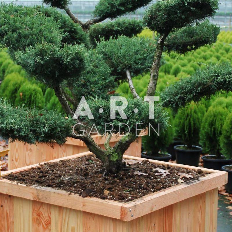 Arbre nuage juniperus media hetzii taille 100 125 for Coussin exterieur 80x80