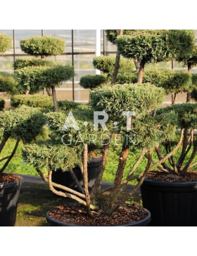 Juniperus media Hetzii taille 120/140 contenair 230L