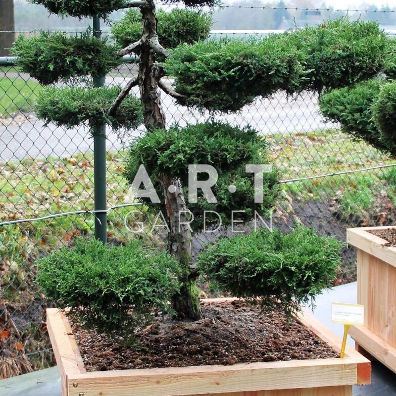 Arbre nuage juniperus media pfitz compacta taille 100 125 for Coussin exterieur 80x80