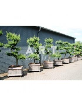 Larix kaempferi taille 180/200 caisse bois 80x80