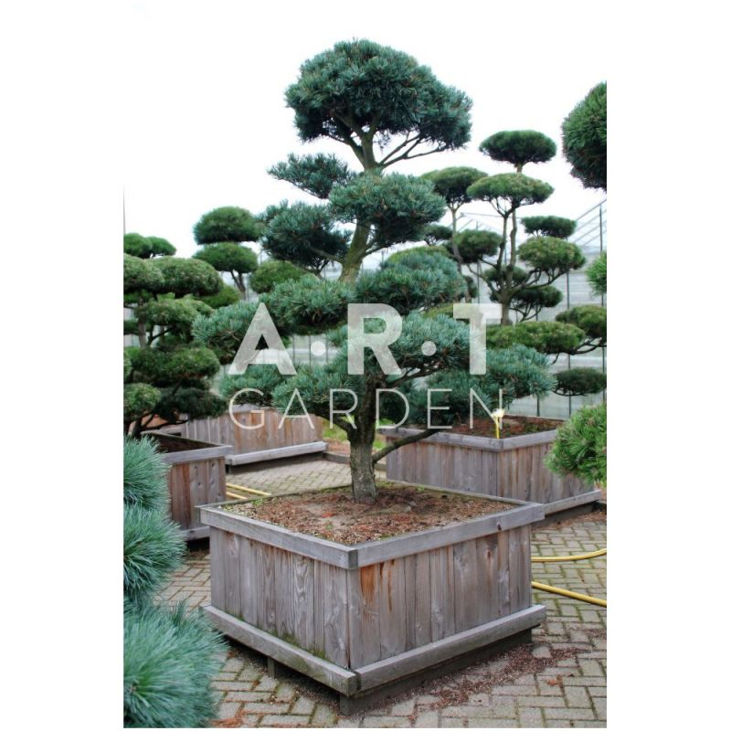 arbre nuage pinus parviflora glauca 200. Black Bedroom Furniture Sets. Home Design Ideas