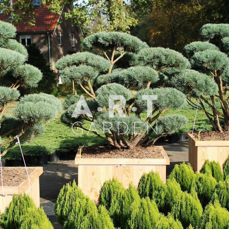 arbre nuage pinus sylvestris watereri taille 150 175. Black Bedroom Furniture Sets. Home Design Ideas