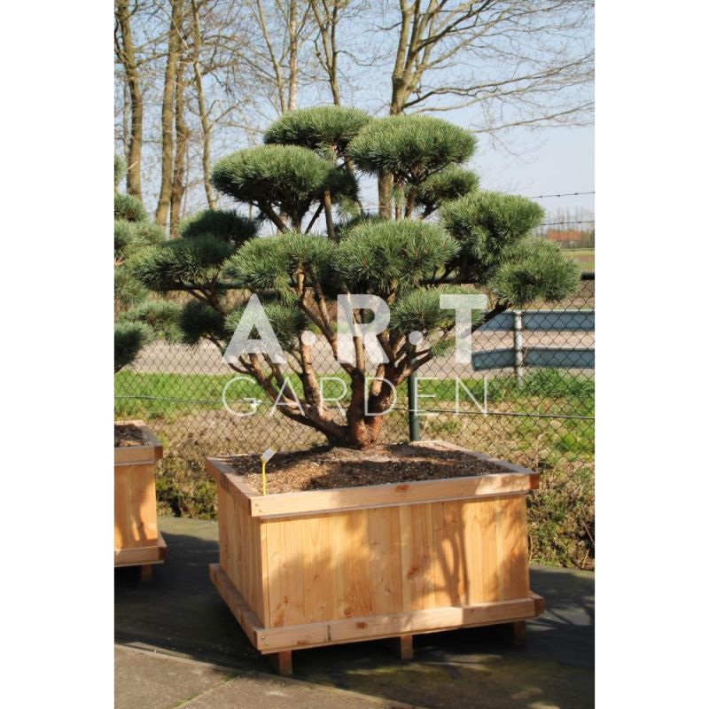 arbre nuage pinus sylvestris watereri taille 150. Black Bedroom Furniture Sets. Home Design Ideas