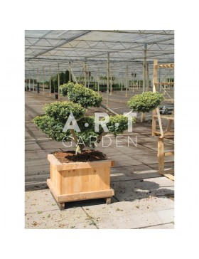 Taxus baccata Summergold taille 90/100 caisse bois 60x60