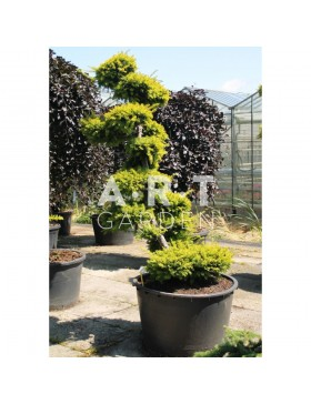 Taxus baccata Summergold taille 175/200 contenair 290L
