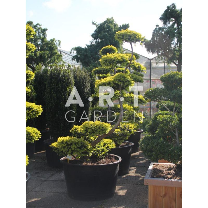 arbre nuage prix grossistes taxus baccata summergold. Black Bedroom Furniture Sets. Home Design Ideas