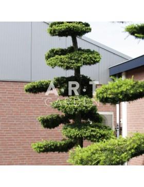 Jardinerie en ligne arbres nuages prix grossiste art garden - Taille du buis en nuage ...