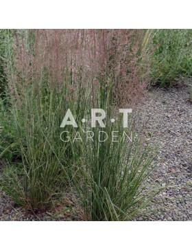 Graminées Calamagrostis acutiflora Overdam