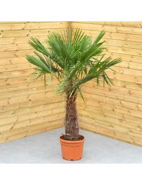 """Palmier de Chine - Trachycorpus """"fortunei"""""""