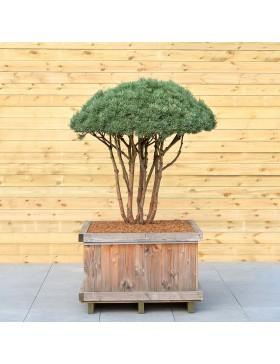 """Pin Sylvestre """"Watereri"""" - Pinus Sylvestris """"Watereri"""""""