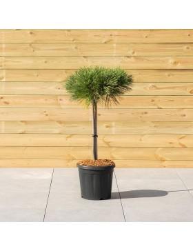 "Pin Noir ""Nain"" - Pinus Nigra ""Brepo"""