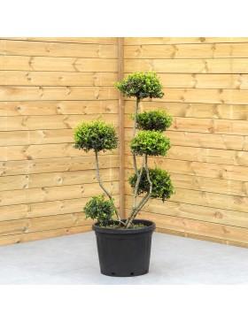 """Houx Crénelé Green Hedge"""" - Ilex Crenata """"Green Hedge"""""""