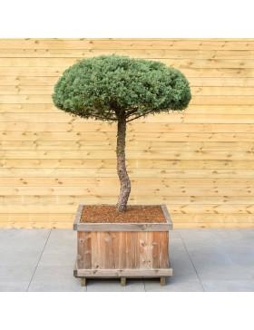 """Genévrier """"Hetzii"""" Taille bonsaï - Juniperus Medi """"Metzii"""""""