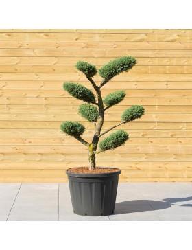 """Genévrier """"Hetzii"""" Taille en Nuage - Juniperus Medi """"Metzii"""""""