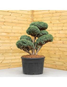 "Genévrier Ecailleux ""Meyeri"" - Juniperus Squamata ""Meyeri"""