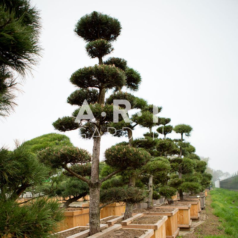 arbres nuage japonais pour jardin r sistant bonsai geant pinus nigra. Black Bedroom Furniture Sets. Home Design Ideas