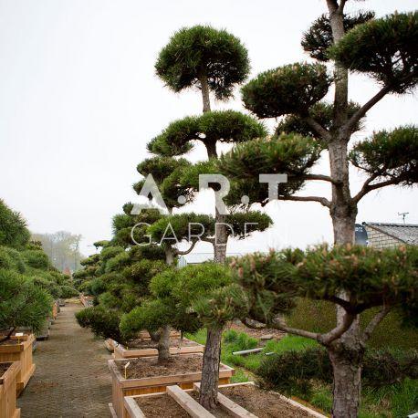 Arbres Nuage japonais pour jardin résistant Bonsai Geant Pinus nigra