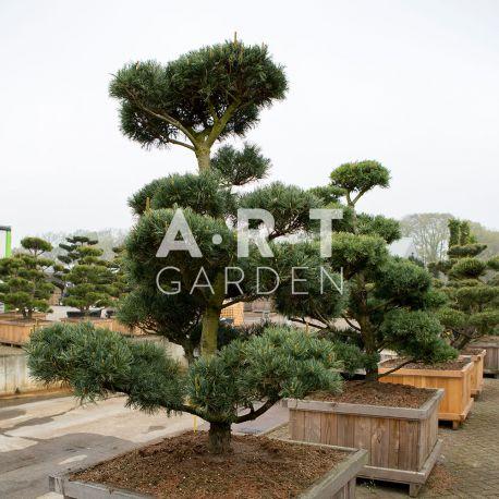 Arbres Nuage japonais - Bonsai Geant Pinus parviflora 'Glauca'