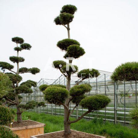 Arbre nuage japonais Pinus mugo