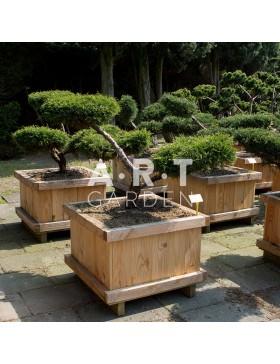 Arbres Nuage japonais - Bonsai Geant Juniperus media 'Pfitz. Compacta'