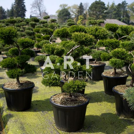 Arbres Nuage japonais - Bonsai Geant Juniperus media Mint Julep