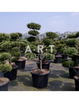 Arbres Nuage japonais - Bonsai Geant Juniperus virg. 'Glauca'