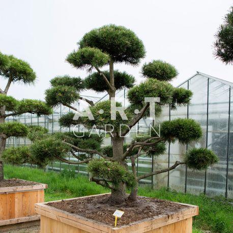 Arbres Nuage japonais - Bonsai Geant Pinus mugo 'Gnom'
