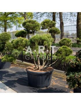 Arbre Nuage japonais - Pinus mugo mughus