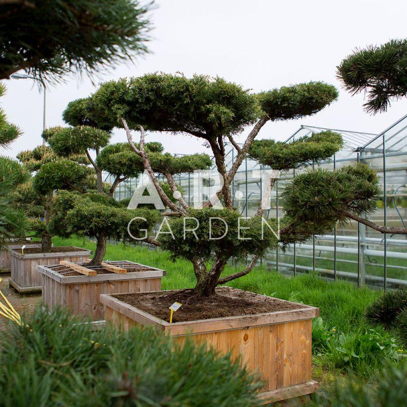 acheter arbres nuages juniperus media hetza prix. Black Bedroom Furniture Sets. Home Design Ideas