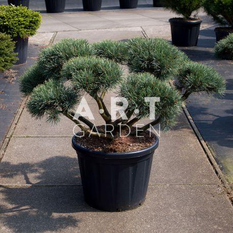 Arbre Nuage japonais - Bonsai Geant Pinus Sylvestris Watereri