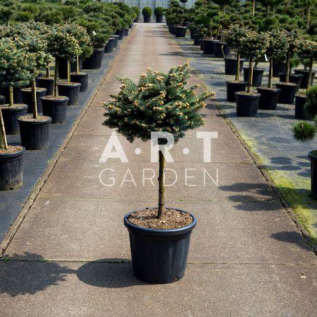 Arbre Nuage japonais - Bonsai Geant Picea Pungens Glauca Globosa