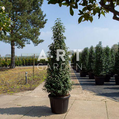 Arbre Nuage japonais - Prunus lusitanica angustifolia