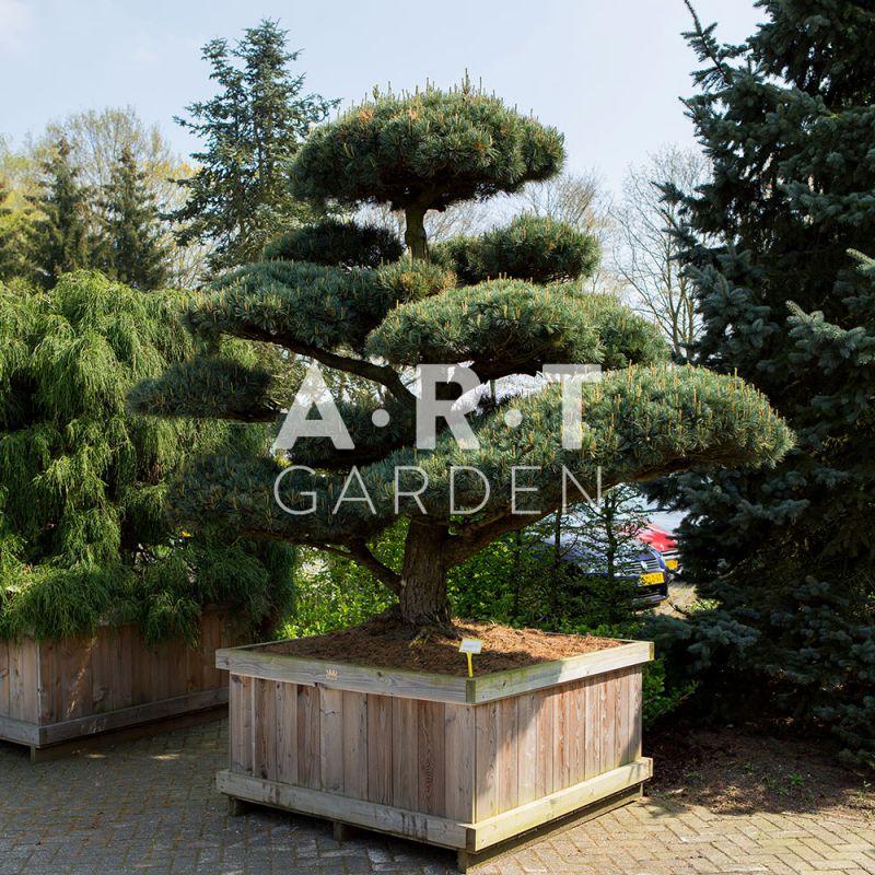pinus parviflora pent glauca le pin du japon pour jardin et terrasse. Black Bedroom Furniture Sets. Home Design Ideas
