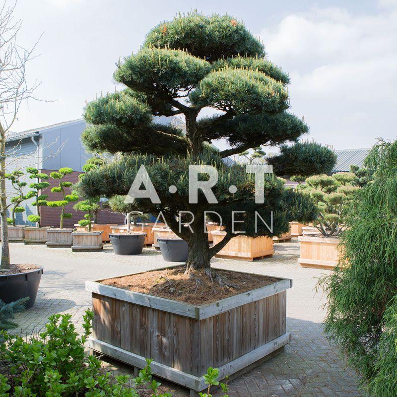 Pinus parviflora pent glauca le pin du japon pour jardin et terrasse - Arbre pour jardin japonais ...