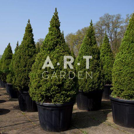 Arbre Nuage - Picea Glauca Conica