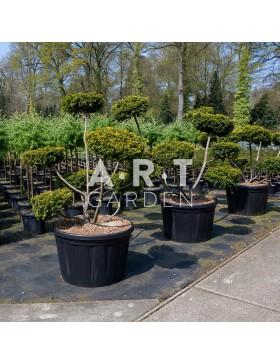 Arbre Nuage - Bonsai Geant Taxus Baccata Summergold