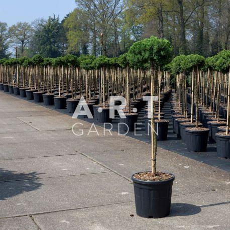 Arbre Nuage - Juniperus procembens nana