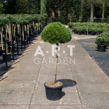 Arbre Nuage japonais - Pinus nigra Brepo