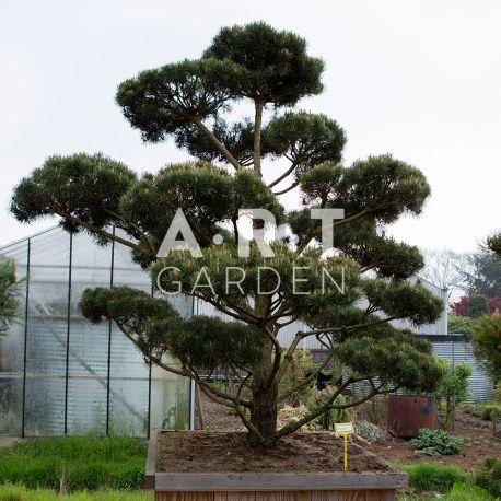 Arbre nuage Pinus sylvestris Norsky