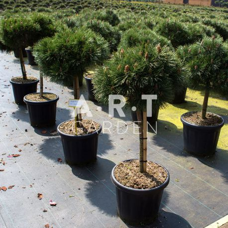 Arbre Nuage - Pinuss nigra Brepo